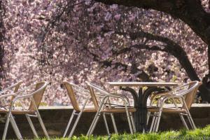 Kirschblüte in Kassel