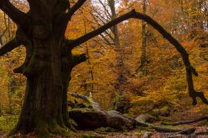 Urwald Sababurg im Herbst