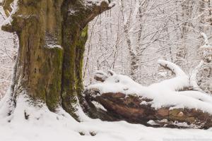Urwald Sababurg im Winter