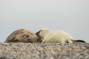 Die Robben von Helgoland